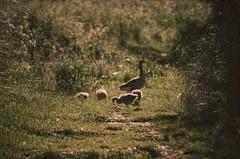 Family getaway (11adda11) Tags: camera light color colour green art nature animal duck nikon bokeh sommer kunst poland polska natura grn ente ipad bokelicious d5100 snapseed