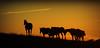 Domingo (Eduardo Amorim) Tags: sunset brazil horses horse southamerica field brasil criollo caballo cheval atardecer caballos tramonto sonnenuntergang pôrdosol campo cavalos pelotas pferde cavalli cavallo cavalo pferd riograndedosul pampa poniente champ anoitecer coucherdesoleil hest hevonen campanha brésil chevaux entardecer crepúsculo 馬 américadosul poente häst 말 amériquedusud лошадь 马 sudamérica suramérica américadelsur סוס südamerika crioulo caballoscriollos criollos حصان tropillas costadoce americadelsud tropilhas tropilla ม้า crioulos cavalocrioulo americameridionale caballocriollo auffangen eduardoamorim cavaloscrioulos mindigtopponalwaysontop ঘোড়া maravillosameencanta