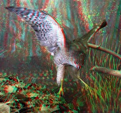 Wood Lake Nature Center (Anaglyph 3D) (patrick.swinnea) Tags: bird minnesota flying stereoscopic 3d flight anaglyph naturecenter richfiled