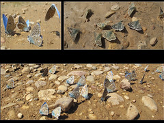 Los minerales y  mariposas (jacilluch) Tags: butterfly bug insect blues lepidoptera mariposa bicho farfalla insecto azules bolboreta insecta  lycaenidae lepidpteros hesperiidae polyommatus bichito pyrginae lycaeninae rhopalocera licenidos