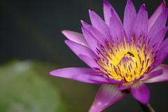 Water lily (ddsnet) Tags: plant flower waterlily sony hsinchu taiwan 99   aquaticplants  slt       sinpu hsinpu       nymphaeatetragona    singlelenstranslucent 99v