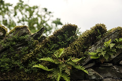 about passage of time and permanence (lunaryuna) Tags: nature beauty forest countryside moss cumbria ferns lunaryuna overgrowth permanence ilovegreen stonedyke thepassageoftime