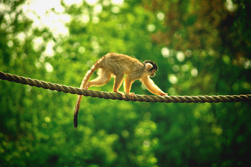 Squirrel monkey - Doodshoofdaapje -  Saimiri