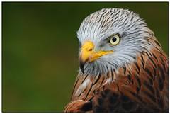 Red Kite (Ben_Gilbert1) Tags: africa red wild kite bird animal danger speed zoo tiger lion fast falcon prey sumatran