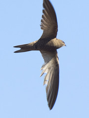 (Adisla) Tags: olympus ave f2 zuiko palido em1 volar 150mm vencejo ec14 zd150mm