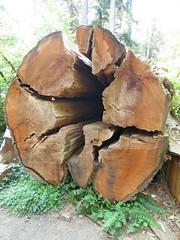 IMG_0844 (rnjacobs) Tags: washington olympicmountains hugetree