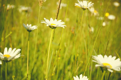 It was a beautiful day Don't let it get away  Beautiful day (katerha) Tags: flowers daisies u2 daisy wilddaisies myfrontyard lescheneauxislands itwasabeautifuldaydontletitgetawaybeautifulday