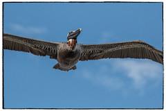pelican-01