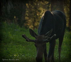 Adolescent Moose (Spencer Bawden Photography) Tags: life wild usa mountains nature grass animal youth america mammal utah scenery wasatch feeding wildlife young horns moose bull alta spencer grazing albion snowbird bawden spazoto