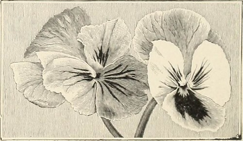 "Image from page 47 of ""Wholesale prices for the trade 1903 : vegetable and flower seeds bulbs plants tools, etc"" (1903)"