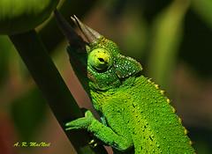 Crafty Chameleon 3 - Kula, Maui (Barra1man) Tags: flower green nature hawaii reptile wildlife ngc olympus maui lizard tropical chameleon kula jacksonschameleon specanimal nilelily agriculturalresearchstation