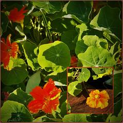 more nasturtiums (MissyPenny) Tags: flowers orange garden edible nasturtiums annuals bristolpennsylvania