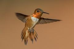Rufous Hummingbird (Eric Gofreed) Tags: arizona hummingbird sedona mybackyard villageofoakcreek rufoushummingbird
