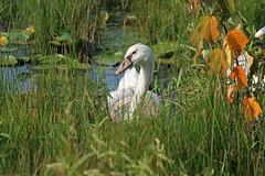 Cygnet in the grass (txm132) Tags: nature newjersey swan wildlife cygnet nj capemaypoint lilylake