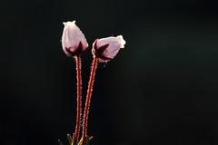Flower, Norway (Daniel Trim) Tags: mountain flower nature norway landscape photography islands europe european wildlife small environmental arctic frame environment lofoten