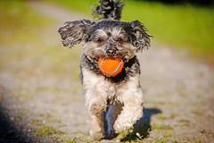 Ball Time 6. (Kirstyxo) Tags: dog holiday playing cute wales ball fun teddy action