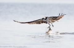 Juvenile Osprey 8_15 11 (krisinct- Thanks for 12 Million views!) Tags: nikon 150 600 tamron vc d7100