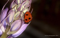 Our pet Ladybird (LOMANA Photography) Tags: uk greatbritain flowers red plants black bluebells countryside flying wings purple north belfast spots ladybird northernireland antrim northatlantic moneyreagh
