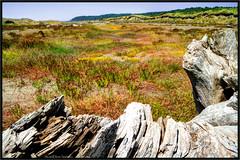 Copalis Beach Flowers (ScottElliottSmithson) Tags: statepark color green beach nature yellow canon landscape eos washington dunes dune driftwood pacificocean 7d wa wildflowers washingtonstate wildflower oceanshores stateparks graysharborcounty copalisbeach copalis washingtonstateparks eos7d dtwpuck scottsmithson scottelliottsmithson