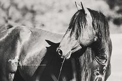 Bay Stallion (purple horse designs) Tags: portrait blackandwhite horse canon bay pony equestrian stallion equine assateague chincoteague 70d