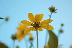 DSC07862 (JohnnyKa$h) Tags: blue summer flower green yellow 50mm bokeh sony 50 sel leafs nex 5n