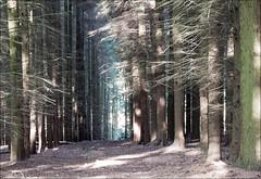 Abbey walk with Ben Shropshire 240814 (29) (Liz Callan) Tags: dog abbey forest collie ben walk border paths ferns haughmond femalephotographer lizcallan lizcallanphotography