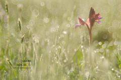 Anacamptis papilionacea (Giovanni Caddeo) Tags: wildlife naturalmente butterflyorchid defendersofwildlife earthhour anacamptispapilionacea nginationalgeographicbyitalianpeople totalphotoshop floraefaunadellasardegna orchideafarfalla nikond7000 nikonclubit meyergrlitztrioplan100f28