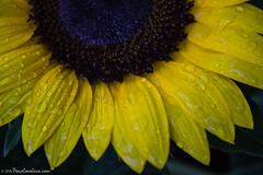Sunflower Closeup (PeaceLoveJava) Tags: summer flower nature yellow sunflower
