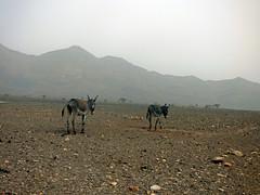 ânes (guivicd) Tags: ass landscape desert morroco maroc paysage reg désert cailloux âne aride