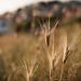 golden grass 02