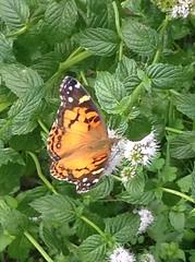 (susanmbarlow) Tags: butterfly photograph paintedlady ipodcamera
