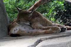 Parc zoologique de Paris 25.05.2014 224 (MUMU.09) Tags: france animal 100400mm lynx vincennes felin carnivora felidae zoodevincennes parczoologiquedeparis canoneos7d lynxboral lynxdeurope lynxlynxboral