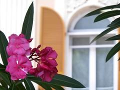 Liguria (fotomie2009) Tags: pink flowers italy flower window flora riviera italia liguria finestra fiori fiore oleander vado ligure oleandro nerium ponente