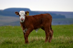 Baby Dave (MightySnail) Tags: summer brown cute field evening cow cows calf