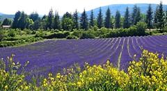 Colori della Provenza (antoniobusso) Tags: france nature landscape miel provence lavande francia paesaggi provenza lavanda lavandin
