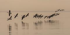 Aerial Ballet-0270 (RG Rutkay) Tags: reflection bird nature water flying flock marsh lakeontario canadageese lyndeshoresconservationarea