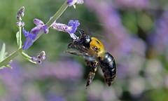 Carpenter Bee in action (TomIrwinDigital) Tags: ontario burlington insect flying sage bee carpenterbee