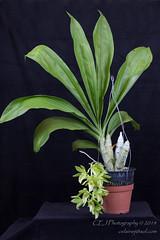 CEJ_2014-4562_1_AOSJud_20140727_IMG_0058_CEJ_W.jpg (celainej) Tags: white plant orchid flower green key clay waxy lime aos clo samdy kasmer clonesia dodsoniama 20144562