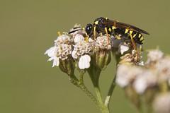 Tenthredo omissa - Blattwespe (Weibchen) (ernst.ruhe) Tags: insekten insecta pterygota neoptera symphyta hautflgler tenthredo neuflgler ernstruhe blattwespe fluginsekten pflanzenwespen tenthredoomissa fotovonernstruhe fotosvonernstruhe tenthrenididae