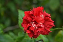 H38 (victorulijn) Tags: ocean red flower fiji island pacific south lodge tropical eiland grote stille oceaan yasawas tropisch nacula yasawa nabua