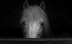 Rencontre avec un étalon (phil1496) Tags: de cheval box équitation lhomme conquête étalon