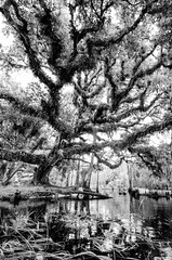 Huge oak tree at Fisheating Creek (Don Filipiak) Tags: blackandwhite landscape florida oldtree liveoak hugetree fisheatingcreek quercusvirginiana nikonwideangle treetattoos nikond7000 nikon1024mm rainforestdon