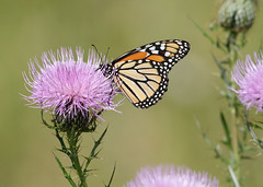 Monarch by Steve Gifford (Steve Gifford - IN) Tags: butterfly insect photo steve picture indiana photograph monarch steven society audubon gifford haubstadt
