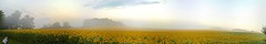 Early Morning Photographer [explore 09-17-14] (misterperturbed) Tags: autostitch panoramic sunflowers harfordcounty jarrettsvillepike hessroad iosapp
