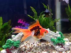 Yolanda - Ryukin Goldfish (Mig_R) Tags: fish aquarium goldfish aquatic harrogate fishes yolanda ryukin freshwater aquariums 2014 freshwaterfish redfearn aquaone ar980 redfearnmews samsfish