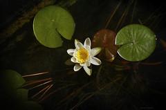 Mi amor flota con nenfares (Aviones Plateados) Tags: waterlily dragonflies amor nenufares nnuphars manologarcia lamanoamiga paraquenoseduermanmissentidos flickrandroidapp:filter=none delibelulas