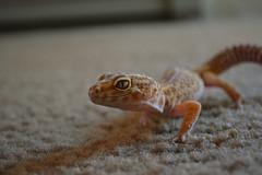 (ryountphotography) Tags: leopardgecko leopardgeckos snowtrempterhetrapter reptiles happyreptiles cute cutereptiles macro