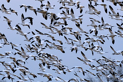 NJ: Snow Geese close-ups (donna lynn) Tags: snowgoose snowgeese 2017 newjersey nj birds birding winter february nikon d500 nature wildlife white mercercounty