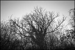 trees (enrico cinti) Tags: leica m monochrom ccd summicronm 35mm 8elements