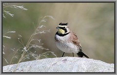 Horned Lark Male (Judy Miller Watson (JMW Photos)) Tags: hornedlark lark utahbirds antelopeisland yellowblackfacebird bird